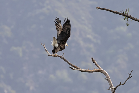 Bald eagle launch from tree limb perch