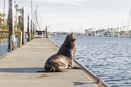 California sea lion barking at marina dock Banque d'images
