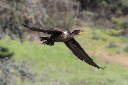Bird cormorant glides along lake shore