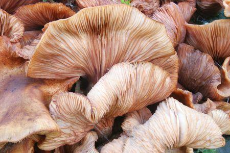 gill: Fungi gill detail