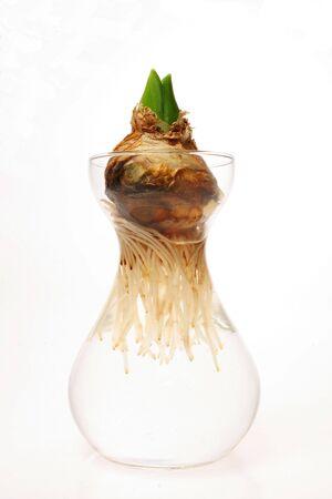 Hyacynth Lampe in Glas-Vase  Lizenzfreie Bilder