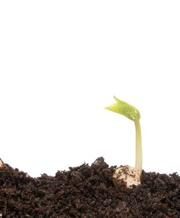 Small bean seedling in soil photo