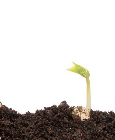 Small bean seedling in soil Stock Photo