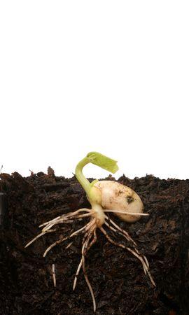 germinating: Germinating seed Stock Photo