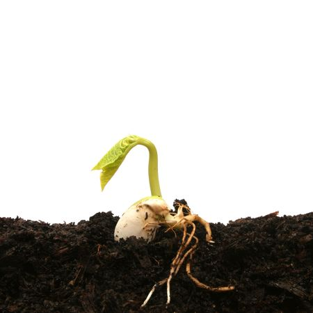 Germinating bean seed Stock Photo