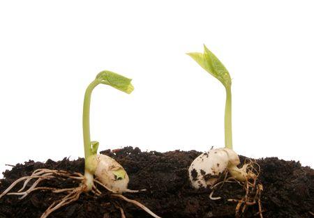 germination: Dos semillas germinando  Foto de archivo