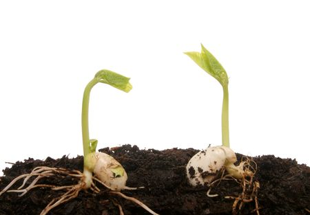 Two seeds germinating photo