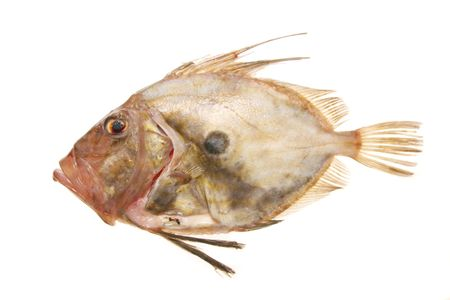 A John Dory fish isolated on white