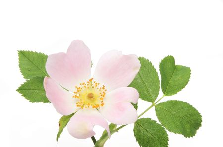Dog rose flower and leaves isolated on white