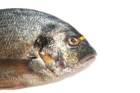 gilt head: Close up of gilt head bream fishes face