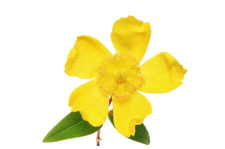 Hypericum flower and leaves isolated on a white background