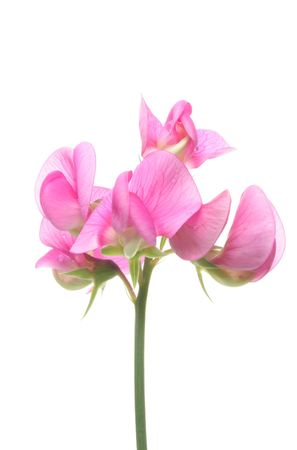 Sweet pea flower isolated on white