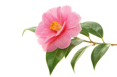 Camellia flower and branch isolated on white Stock Photo