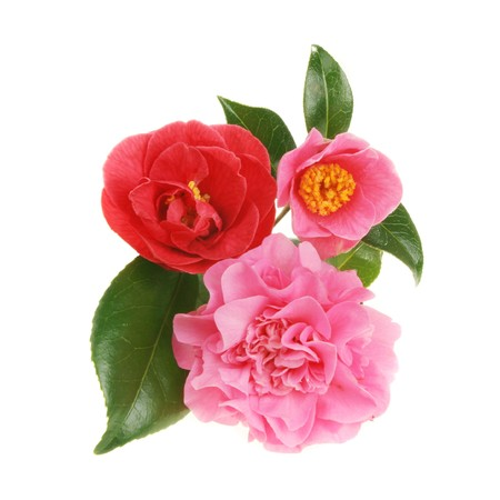 Group of three different forms of camellia flowers Stock Photo