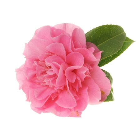 Pink multi petaled camellia flower isolated on white