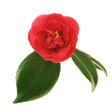 Red camellia flower with green leaves Stock Photo