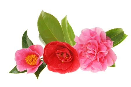 Group of three different camellia flowers against white