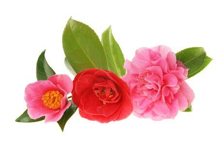 Gruppe von drei verschiedenen Kamelie gegen wei�e Blumen