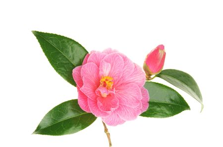 Pink camellia flower and bud isolated on white