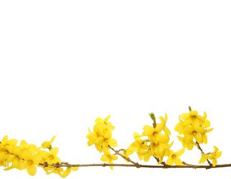 Gelb mit wei�en Blumen Forsythia Kopie Raum �ber