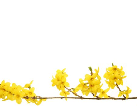 Yellow Forsythia flowers with white copy space above