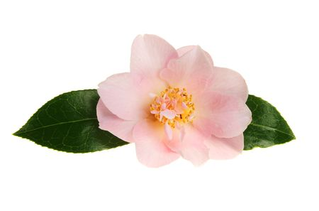 Pastel pink camellia flower with two green leaves