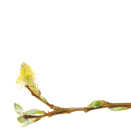 sauces: Willow rama con capullos de primavera y flor copia espacio anterior  Foto de archivo