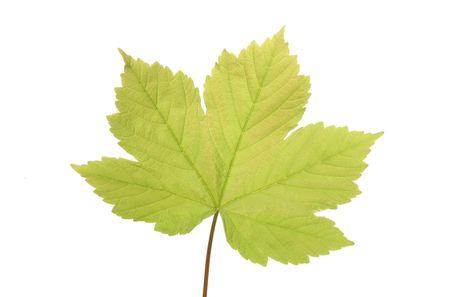 プラタナス: 白で隔離される単一の若いプラタナスの葉