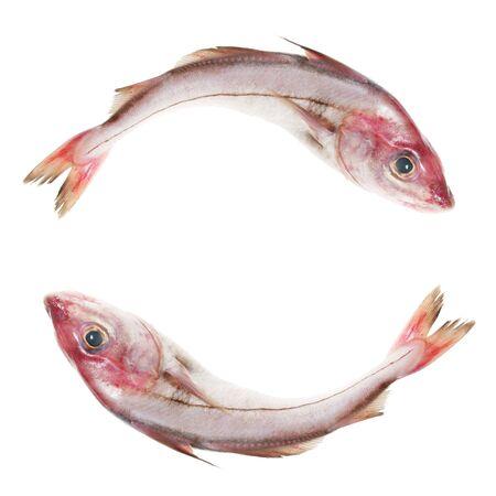 Haddock fish form a circle