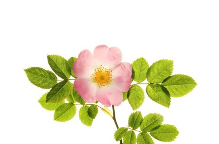 Dog rose flower and leaves isolated against white Stock Photo