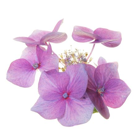 Lacecap Hydrangea flower isolated on white