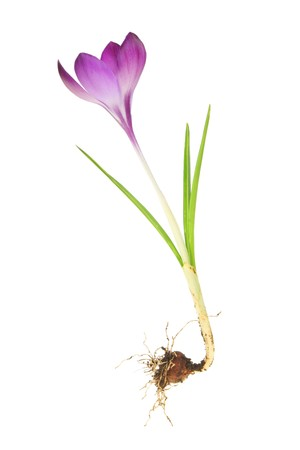 Crocus bulb and flower isolated against white