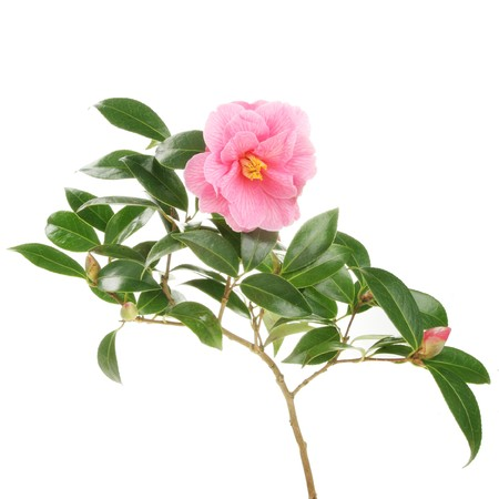 Camellia branch with a flower and buds