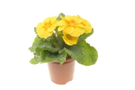 primula: Primula plant and flower in a pot against white