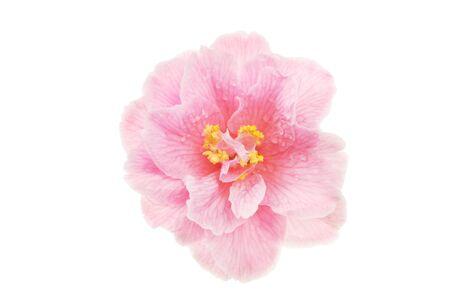 Camellia flower isolated against white