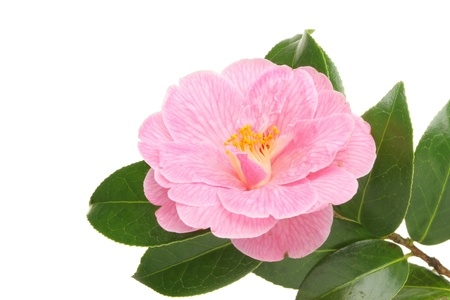 anther: Pink Spring flowering Camellia blossom and evergreen foliage