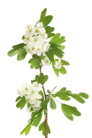 Hawthorn flowers and leaves, also known as May blossom Stock Photo