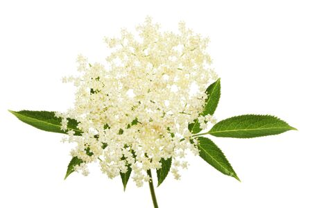 elder tree: Elder flower and leaves isolated against white Stock Photo