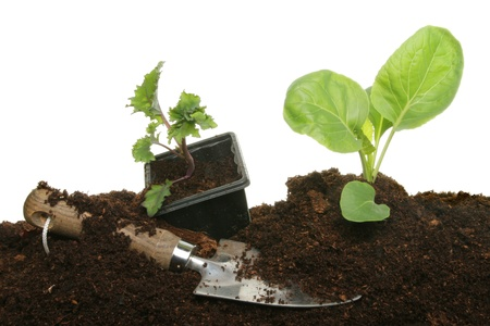 Vegetable plant seedlings in soil and in a plastic pot with a garden trowel