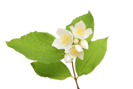 philadelphus: Philadelphus, mock orange, flowers and leaves isolated against white