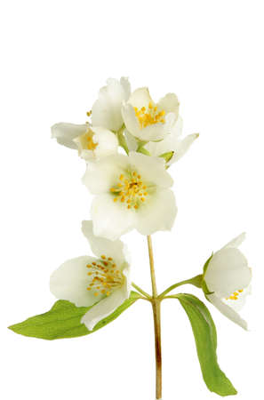 philadelphus: Closeup of Philadelphus, mock orange, flowers and leaves against white