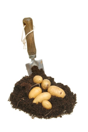 Freshly dug new potatoes in a pile of earth with a garden trowel isolated against white photo