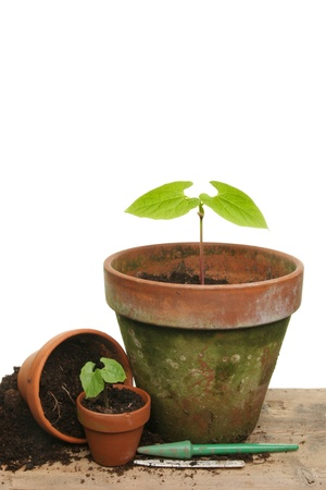 Potting up seedling vegetable plants on a wooden bench Stock Photo - 9965068