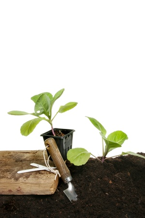 Planting seedling vegetable plants into soil with a garden trowel against a white background Stock Photo - 9965065