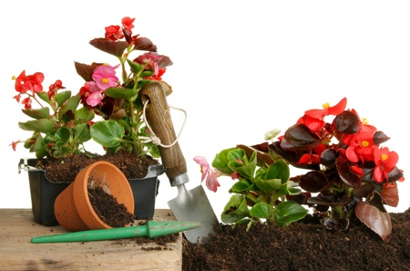transplanted: Begonia plants transplanted from containers into a flower bed Stock Photo
