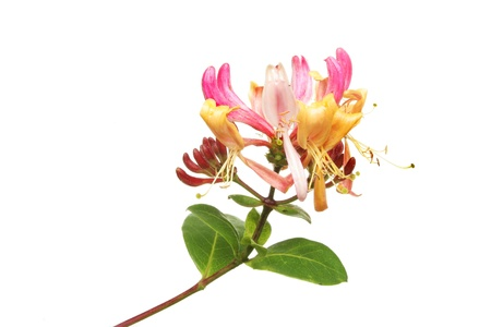 Honeysuckle flower and leaves isolated against white Stock Photo