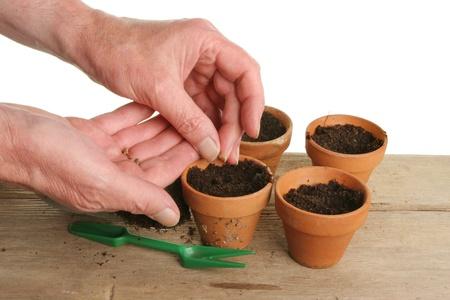 siembra: Un par de manos sembrando semillas en macetas de terracota individuales
