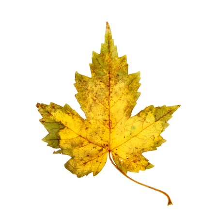 sicomoro: Sicomoro, foglia d'autunno isolato contro bianco