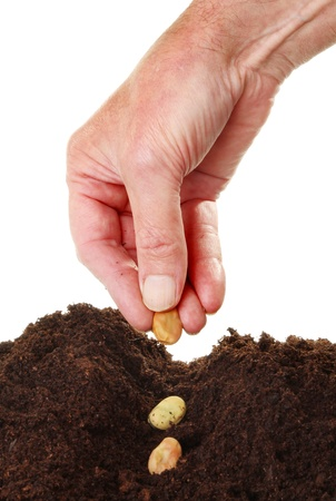 Closeup of a males hand planting broad bean seeds into a furrow in soil against a white background