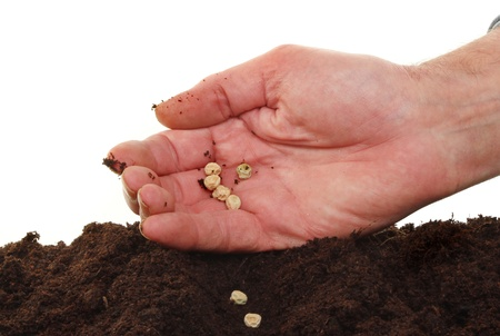 furrow: Hand sowing pea seeds into a furrow in soil